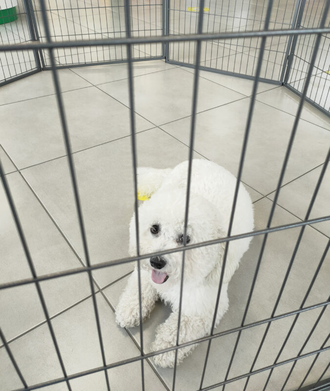 A small, pure white bichon frise laying on her belly inside the puppy pen.