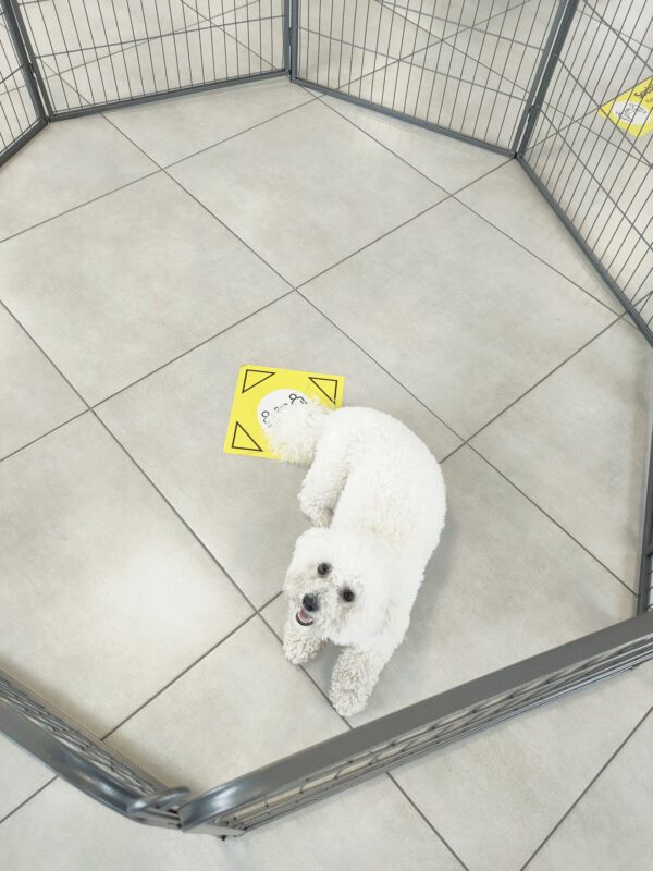 The bichon frise looking up at the camera from inside the dog pen. The photo is taken with a wide-angle lens, so the whole dog pen is available from above