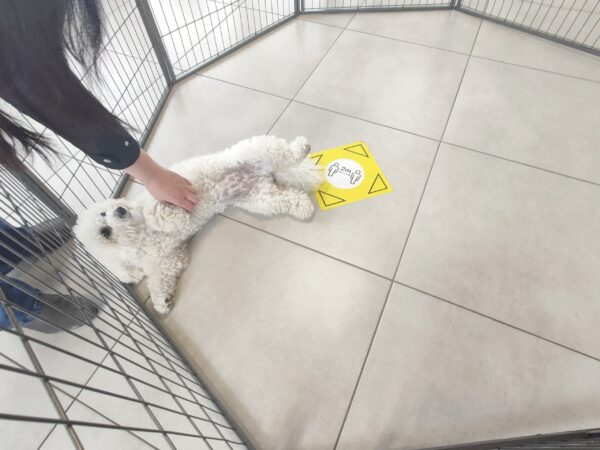 The bichon frise lying on it's back inside the dog pen. She is being petting and looks very content. There is lots of room inside the pen with her.