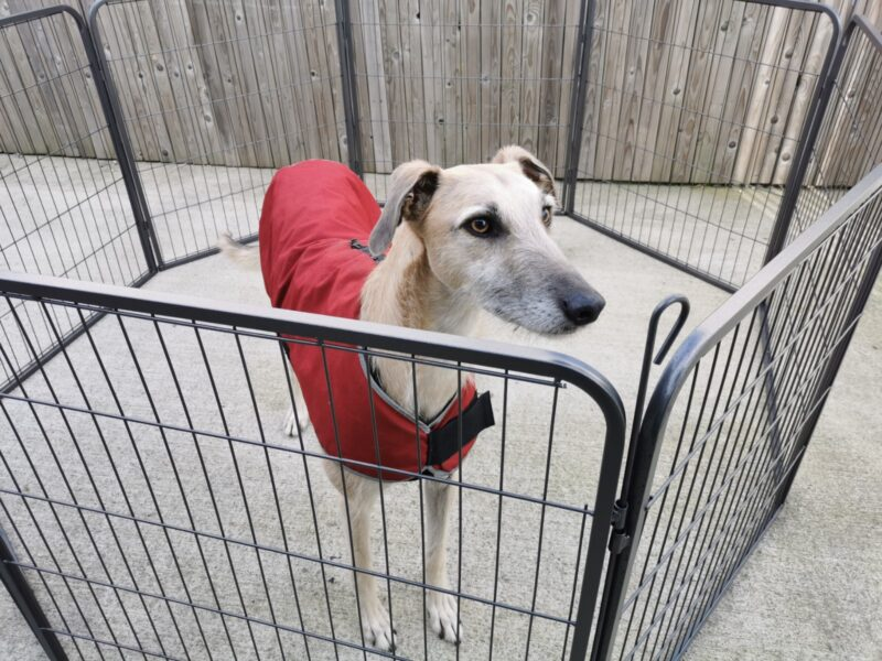 A large fawn-coloured lurcher inside the dog pen. He's wearing a red-coloured jacket