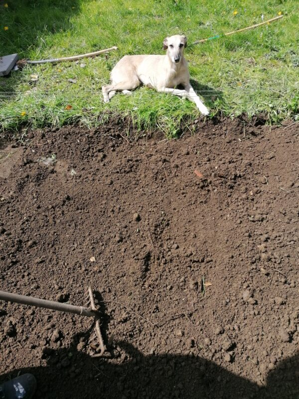 a fawn coloured lurcher dog lies on the grass beside the freshly dug base for the steel shed