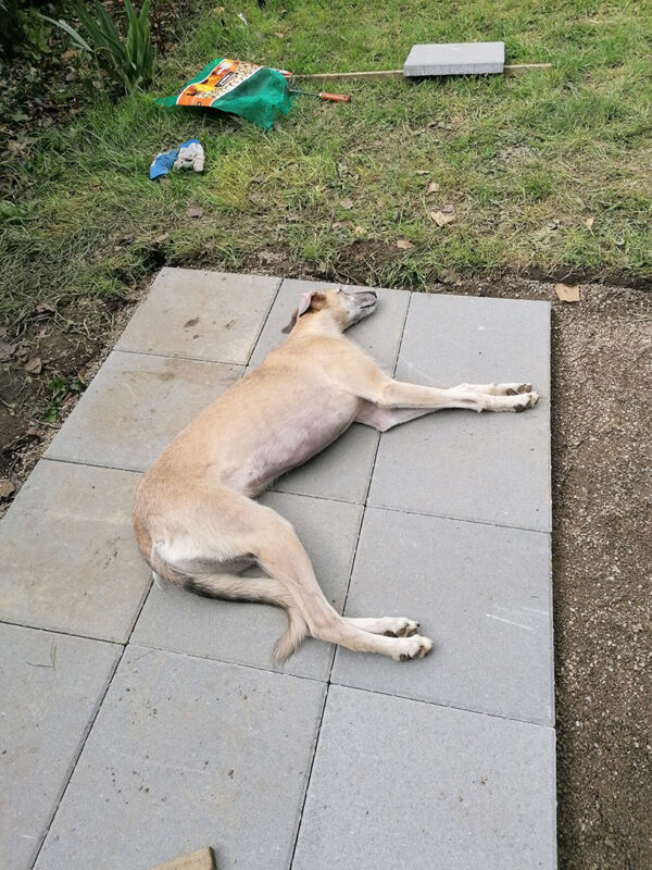 a blonde lurcher dog lying flat across 9 grey paving slabs in a garden. The is a blank area beside him where more slabs are to be laid and to the other side of him there is green grass.
