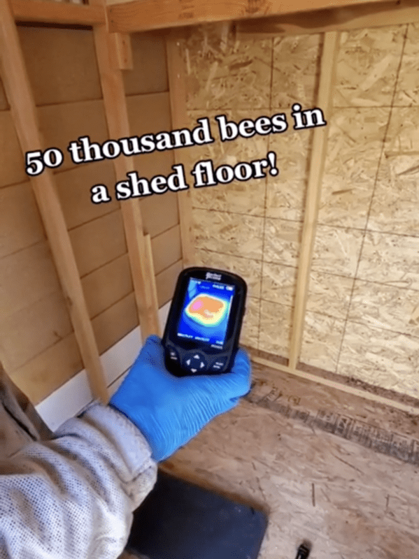 fifty thousand bees under a shed