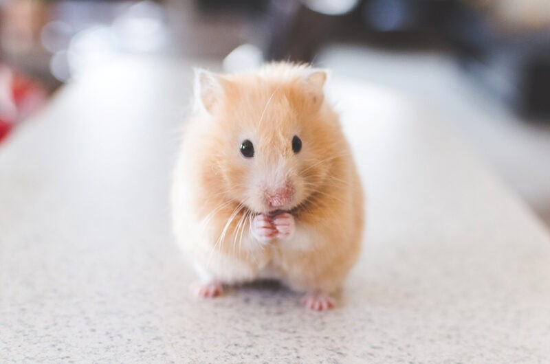 A cute golden wood mouse sitting on a marble countertop with his hands pressure together